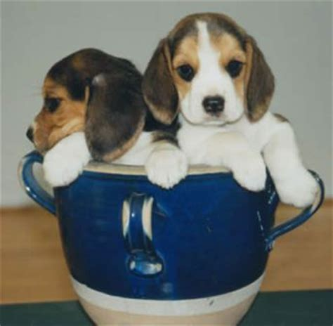 teacup beagle puppies teacup breed list with pictures so and pets world