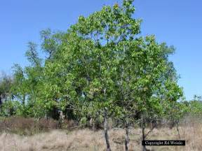 American persimmon tree trees amp shrubs of florida