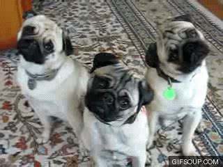 why do pugs smell non riders say the darndest things nation