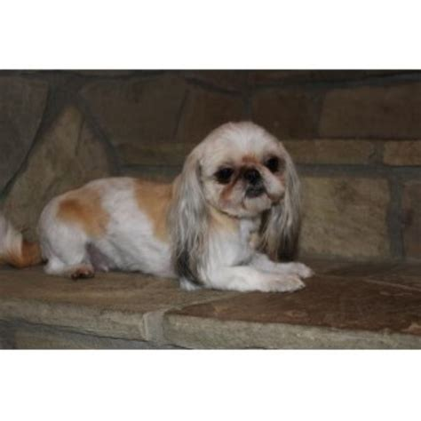 washington shih tzu breeders elegance shih tzu shih tzu breeder in ellensburg washington