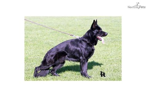 k9 puppies for sale puppies for sale from alert k9 member since march 2008