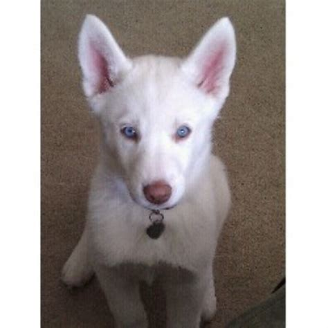 puppies for sale in evansville indiana siberian huskies siberian husky breeder in evansville indiana listing id 18808