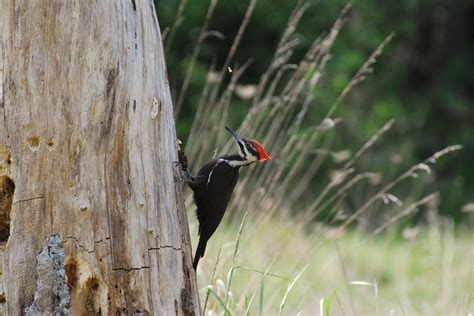 pacific landing feathered friend fridays the pileated