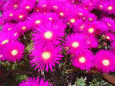 pianta grassa con fiori fucsia preview preview di piante grasse categoria