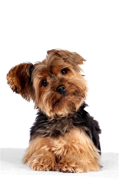 yorkie puppy facts terrier terrier pet insurance info