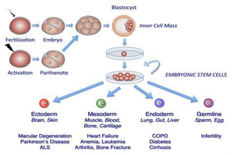 Terapi Stem Cell Terobosan Kedokteran Modern U Penderita Gagal Jantung terapi stem cell solusi kesehatan anda terapi sel induk stem cell therapy