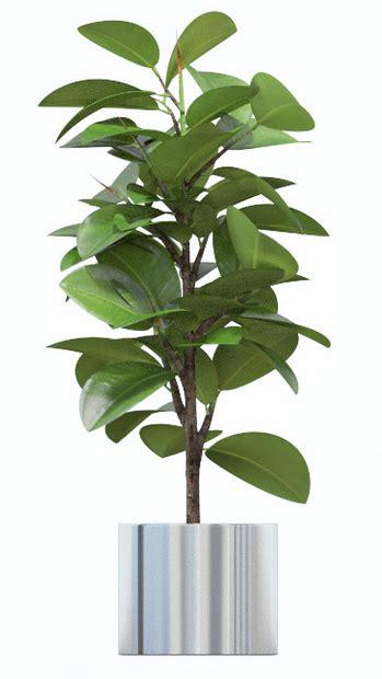 ficus planta interior mejores plantas de interior ii poda y jard 237 n