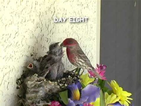 house finch nest baby birds house finch mom and dad feeding four babies