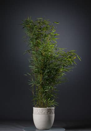 Fargesia Robusta Cbell Kaufen 33 by Hoher Heckenbambus Fargesia Robusta Cbell G 252 Nstig