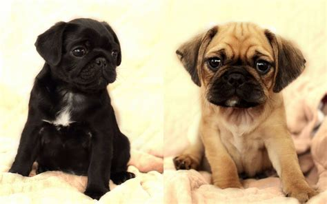 pug x cavalier for sale pugalier 3 4 pug x 1 4 cavalier puppy puppies ramsgate kent pets4homes