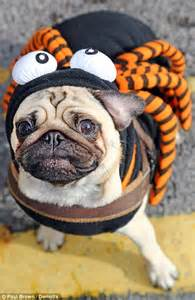 spider pug costume things that go woof in the dogs get dressed up for hallowe en to raise for