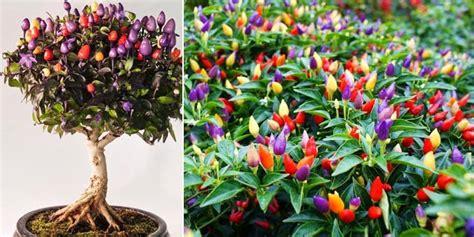 Tanaman Hias Cabe Rainbow Cabe Pelangi ingin menanam tanaman cabe pelangi yuk lihat caranya