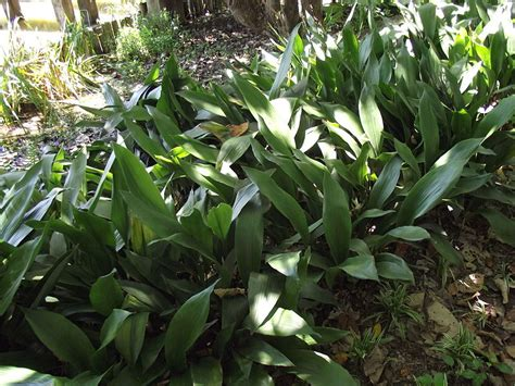 plants for shade in temperate australia gardendrum