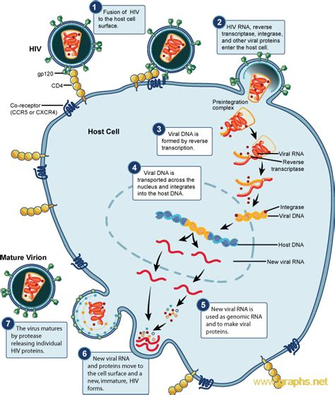 diagram of cycle hiv replication cycle diagram infographics graphs net