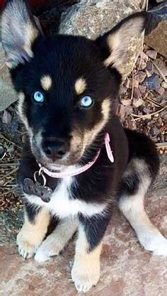 rottweiler and husky mix puppies the rottweiler husky mix rottsky much of a handful or the ideal mix