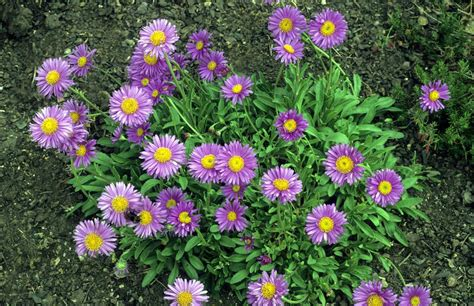 aster fiori grow perennial aster flower plants for fall blooms