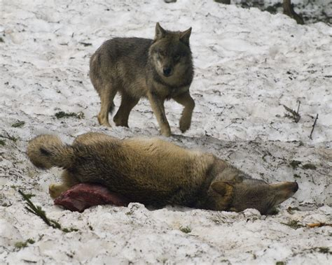wolf food the common grey wolf in tendua association for biodiversity conservation
