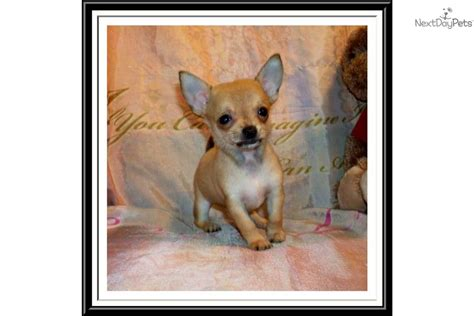 corkie puppies for sale meet corkie a chihuahua puppy for sale for 400 fawn