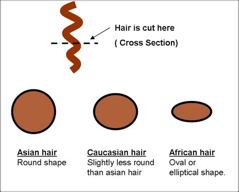 hair cross section indian hair extensions benefits over european hair