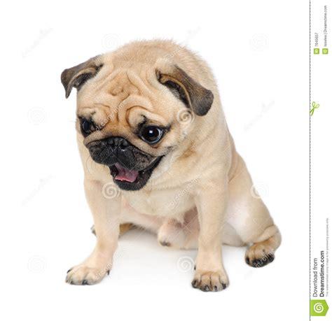3 year pug pug 3 years royalty free stock photography image 7645657