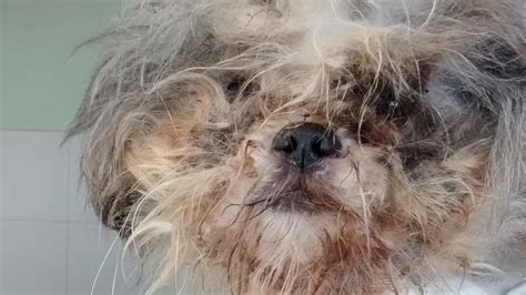 shih tzu around abandoned shih tzu hobbles around a housing estate with paws so big he could hardly