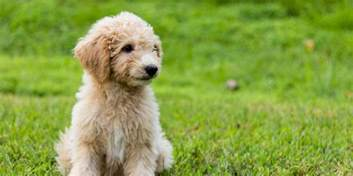doodle create choice labradoodle goldendoodle puppies for sale in iowa