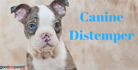 how do dogs get distemper canine distemper still a dangerous threat