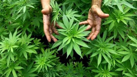 canapé cinéma si fuma ma non sballa la marijuana legale ora 232 in