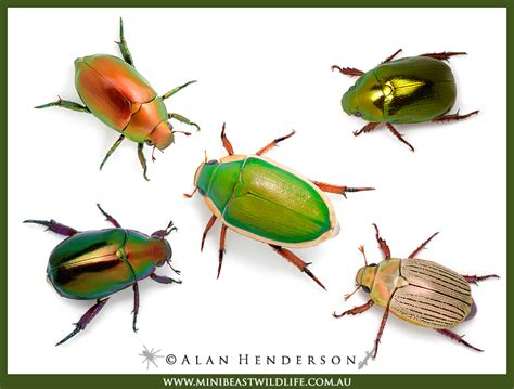 Front Porch Christmas Trees christmas beetles minibeast wildlife