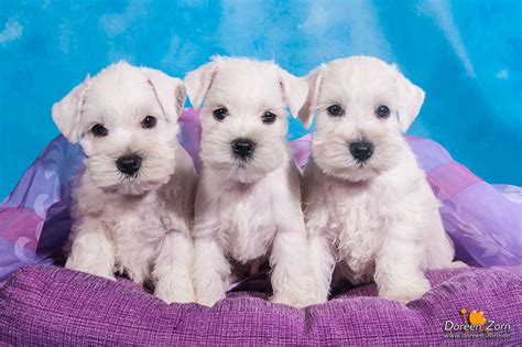 white schnauzer puppy three white miniature schnauzer puppies by kirikina on deviantart