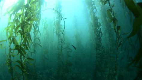 kelp beds swimming through thick kelp beds in southern california