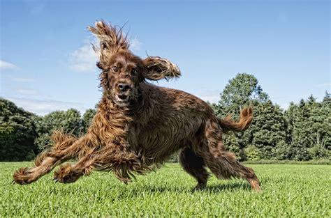 irish setter dog walker dog photo gallery man s best friend