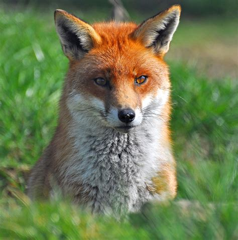 Like A Fox by Fox Facts You Probably Didn T