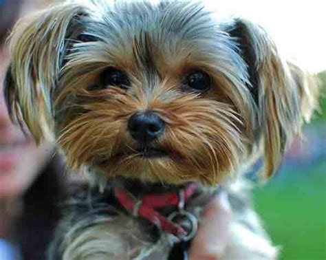 yorkie poo puppies for sale in yorkie poos for sale newhairstylesformen2014