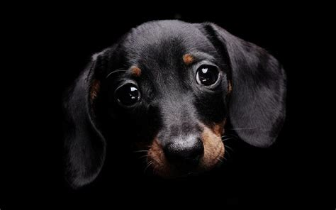 black dog cute black dog wallpaper