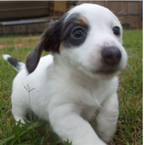 white dachshund puppies black and white spots haired dachshund puppy pictures to pin on pinsdaddy