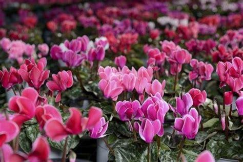 ciclamino coltivazione in vaso ciclamini cura piante da interno come curare i ciclamini