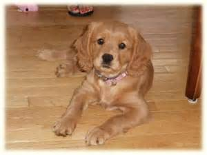 charles golden retriever cavalier king charles spaniel golden retriever golden retriever want pet