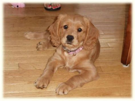 golden retriever cross cavalier cavalier golden retriever mix pets golden retriever mix and