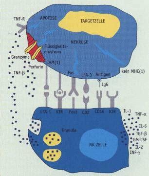 die rolle der nat 252 rlichen killerzellen - Nk Zeilen