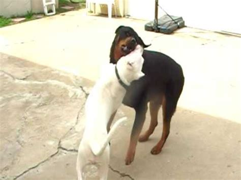 rottweiler vs pitbull who would win dogo argentino vs rottweiler who would win wroc awski informator internetowy wroc
