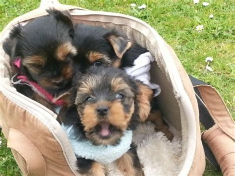 miniature yorkies for sale uk mini yorkies puppiies for sale pets for sale in the uk