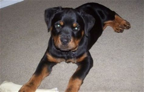 rottweiler puppies 5 weeks rottweiler breed pictures 3