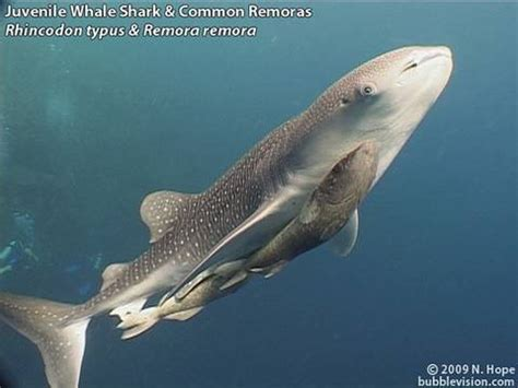 baby shark jakarta diving bunaken youtube
