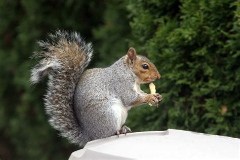 kirkby grey squirrel control