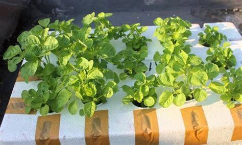 menanam mint hidroponik cara menanam bayam hidroponik di rumah dengan mudah