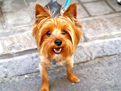 why do yorkies like to best food for yorkies how to feed terrier