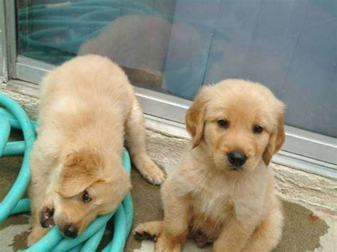golden retriever puppies el paso tx excellent golden retriever puppies for sale adoption from tulsa el paso adpost
