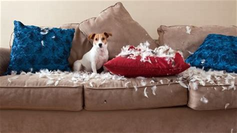 dog chewed couch ny dog owners does your pooch destroy your home abc news