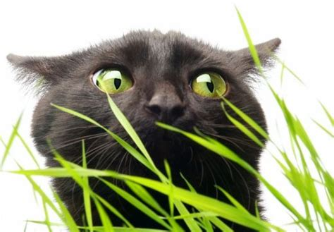 grass and throwing up help my cat is throwing up possible causes of feline vomiting hubpages
